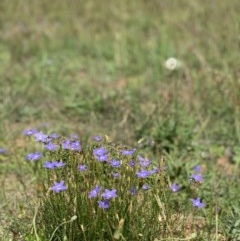 Wahlenbergia sp. (Bluebell) at Fraser, ACT - 24 Mar 2020 by noodles