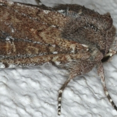 Proteuxoa provisional species 5 at Ainslie, ACT - 6 Apr 2020