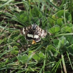 Apina callisto (Pasture Day Moth) at Mulligans Flat - 9 Apr 2020 by Tammy