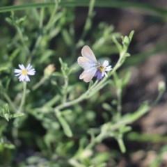 Zizina otis (Common Grass-blue) at Mulligans Flat - 9 Apr 2020 by Tammy