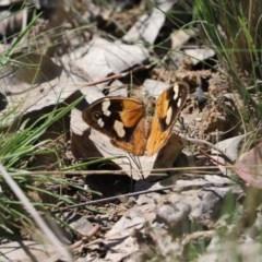 Heteronympha merope (Common Brown) at Mulligans Flat - 9 Apr 2020 by Tammy