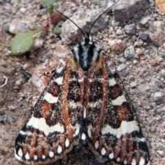 Apina callisto (Pasture Day Moth) at Hume Paddocks - 5 Apr 2020 by Roman