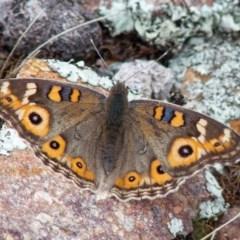 Junonia villida (Meadow Argus) at Hume Paddocks - 8 Apr 2020 by Roman