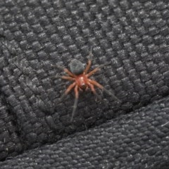 Nicodamidae sp. (family) (Red and Black Spider) at The Pinnacle - 7 Apr 2020 by AlisonMilton