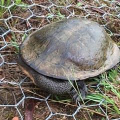 Chelodina longicollis (Eastern Long-neck Turtle) at Lower Boro, NSW - 14 Mar 2017 by mcleana