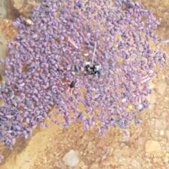 Hypogastrura sp. (genus) (A Springtail) at Molonglo, ACT - 10 Apr 2020 by tpreston