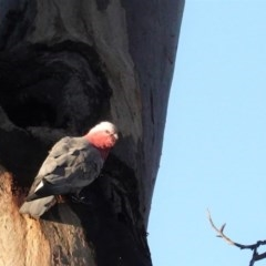 Eolophus roseicapillus (Galah) at Red Hill Nature Reserve - 10 Apr 2020 by JackyF