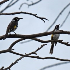 Phylidonyris novaehollandiae (New Holland Honeyeater) at Jerrabomberra Wetlands - 9 Apr 2020 by RodDeb