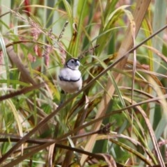 Taeniopygia bichenovii (Double-barred Finch) at Jerrabomberra Wetlands - 9 Apr 2020 by RodDeb