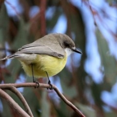 Gerygone olivacea (White-throated Gerygone) at Jerrabomberra Wetlands - 9 Apr 2020 by RodDeb