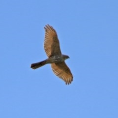 Accipiter fasciatus (Brown Goshawk) at Jerrabomberra Wetlands - 9 Apr 2020 by RodDeb