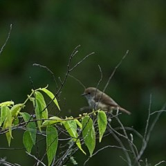 Acanthiza pusilla (Brown Thornbill) at Brogo, NSW - 9 Apr 2020 by MaxCampbell