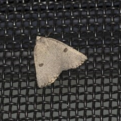 Amelora undescribed species (A Geometrid moth) at Higgins, ACT - 9 Apr 2020 by AlisonMilton