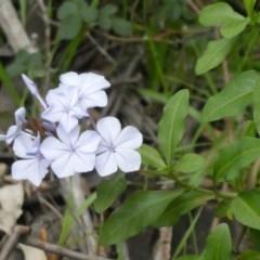 Plumbago auriculata (Cape Leadwort, Plumbago) at Tuggeranong Hill - 9 Apr 2020 by Owen