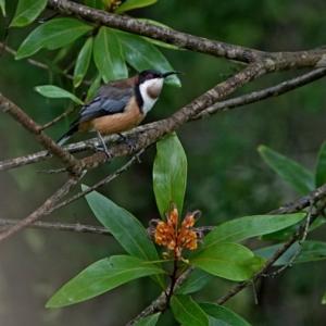 Acanthorhynchus tenuirostris at Brogo, NSW - 9 Apr 2020