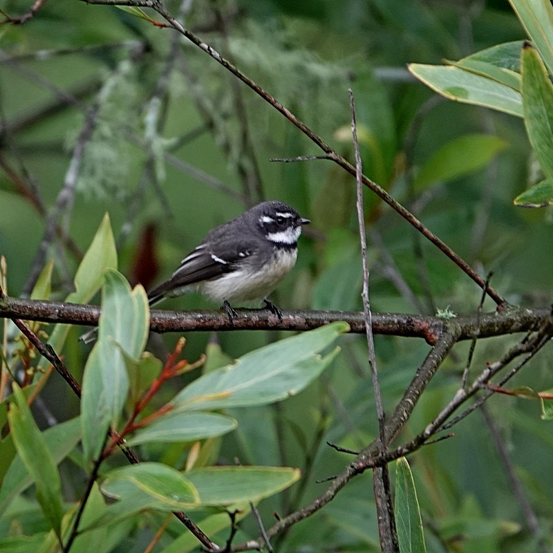 Rhipidura albiscapa at Brogo, NSW - 9 Apr 2020
