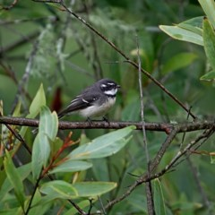 Rhipidura albiscapa (Grey Fantail) at Brogo, NSW - 9 Apr 2020 by MaxCampbell