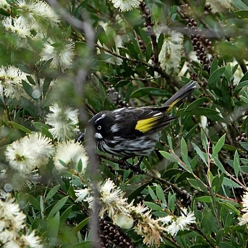 Phylidonyris novaehollandiae at Brogo, NSW - 9 Apr 2020