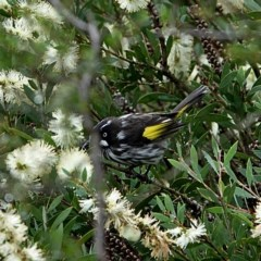 Phylidonyris novaehollandiae (New Holland Honeyeater) at Brogo, NSW - 9 Apr 2020 by MaxCampbell