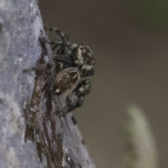 Hypoblemum griseum (A jumping spider) at Higgins, ACT - 9 Apr 2020 by AlisonMilton