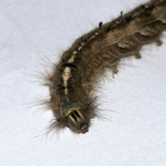 Lepidoptera unclassified IMMATURE moth at Googong, NSW - 11 Apr 2020 by WHall