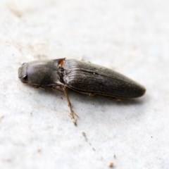 Conoderus sp. (genus) (Click beetle) at Higgins, ACT - 9 Apr 2020 by AlisonMilton