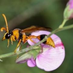 Delta bicinctum (Potter wasp) at West Belconnen Pond - 20 Jan 2013 by Bron