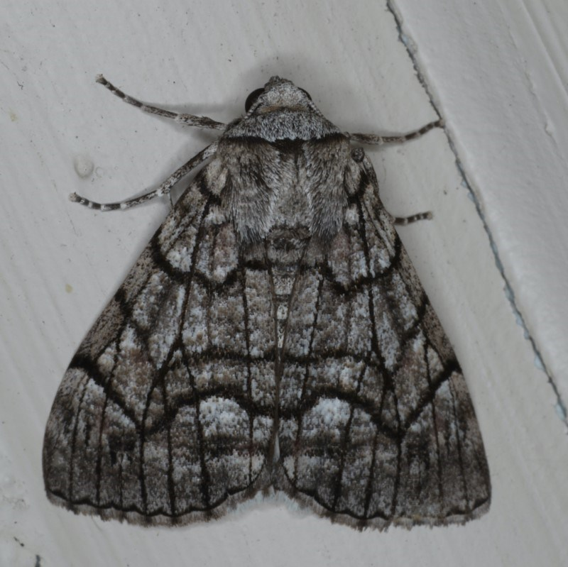 Stibaroma undescribed species at Ainslie, ACT - 11 Apr 2020