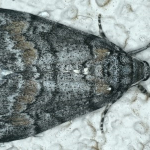 Smyriodes undescribed species nr aplectaria at Ainslie, ACT - 11 Apr 2020