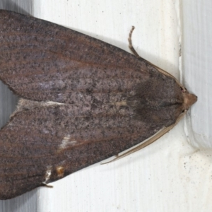 Paralaea porphyrinaria at Ainslie, ACT - 11 Apr 2020