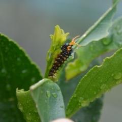 Papilio anactus (Dainty Swallowtail) at Greenleigh, NSW - 10 Apr 2020 by LyndalT