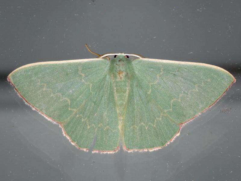 Prasinocyma semicrocea at Ainslie, ACT - 11 Apr 2020