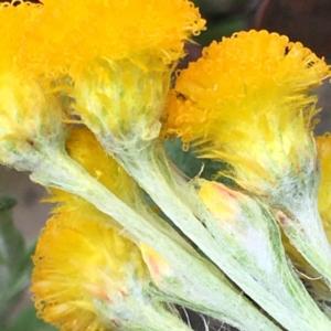 Chrysocephalum apiculatum at Hughes Grassy Woodland - 13 Apr 2020