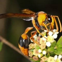 Delta bicinctum (Potter wasp) at West Belconnen Pond - 30 Jan 2013 by Bron