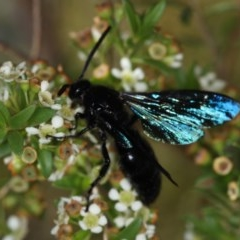 Austroscolia soror (Blue-winged flower wasp) at West Belconnen Pond - 30 Jan 2013 by Bron
