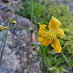 Hypericum gramineum (Small St Johns Wort) at Urambi Hills - 11 Apr 2020 by JohnBundock
