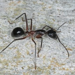 Camponotus intrepidus (Flumed Sugar Ant) at Ainslie, ACT - 6 Apr 2020 by jbromilow50
