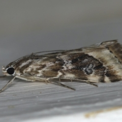 Hellula hydralis at Ainslie, ACT - 12 Apr 2020