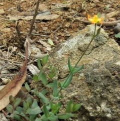 Hypericum gramineum (Small St Johns Wort) at Mount Majura - 13 Apr 2020 by Sarah2019