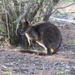 Wallabia bicolor (Swamp Wallaby) at Mount Ainslie - 12 Apr 2020 by jbromilow50