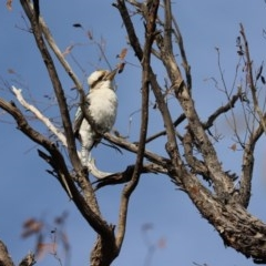 Dacelo novaeguineae (Laughing Kookaburra) at Cook, ACT - 12 Apr 2020 by Tammy