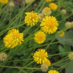 Calotis lappulacea (Yellow burr daisy) at Mount Painter - 7 Apr 2020 by pinnaCLE