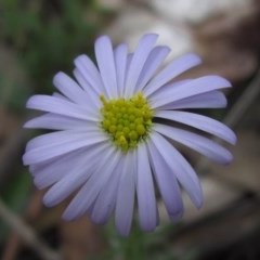 Brachyscome rigidula (Hairy cut-leaf daisy) at Black Mountain - 13 Apr 2020 by pinnaCLE