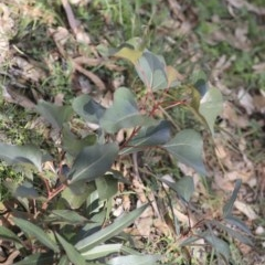 Brachychiton populneus subsp. populneus (Kurrajong) at Dunlop, ACT - 7 Apr 2020 by AlisonMilton