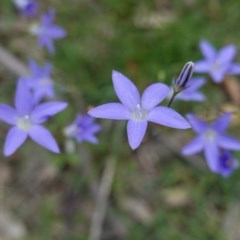 Wahlenbergia sp. (Bluebell) at Deakin, ACT - 13 Apr 2020 by JackyF