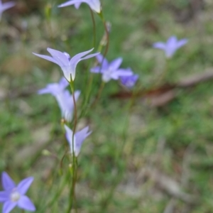 Wahlenbergia sp. at Deakin, ACT - 13 Apr 2020