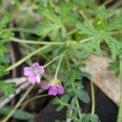 Geranium solanderi var. solanderi (Native Geranium) at Red Hill Nature Reserve - 11 Apr 2020 by JackyF