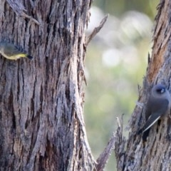 Acanthiza chrysorrhoa (Yellow-rumped Thornbill) at Mount Ainslie - 12 Apr 2020 by RodDeb