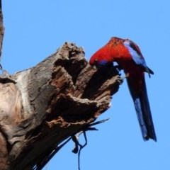 Platycercus elegans (Crimson Rosella) at Mount Ainslie - 12 Apr 2020 by RodDeb