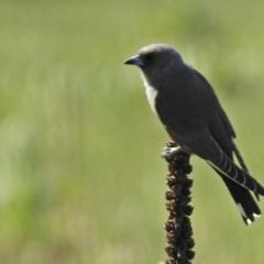 Artamus cyanopterus (Dusky Woodswallow) at Majura, ACT - 12 Apr 2020 by RodDeb